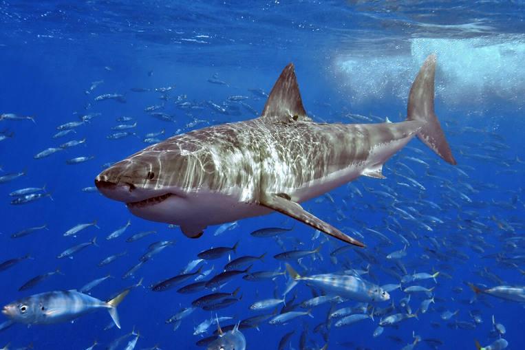 Come dormono gli squali ?