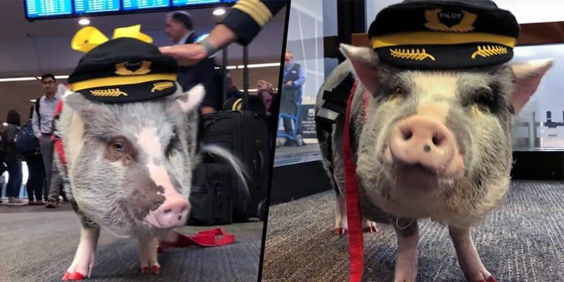 Lilou, di maiale di terapia dell'aeroporto di San Francisco