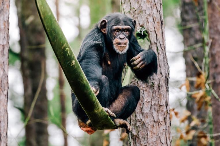 Lo scimpanzé