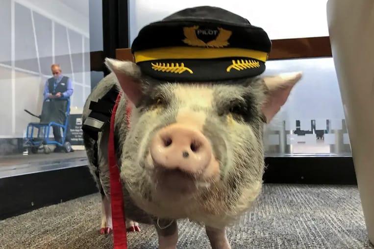 L'aeroporto di San Francisco ospita un maiale che aiuta i passeggeri stressati