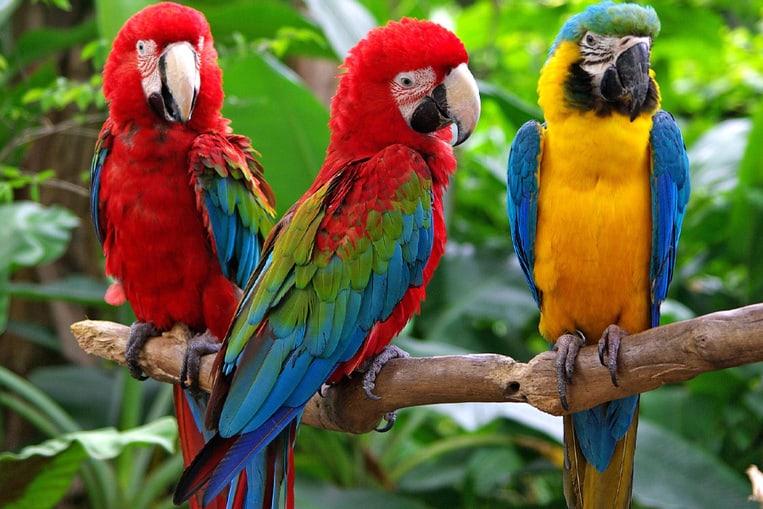 Il pappagallo